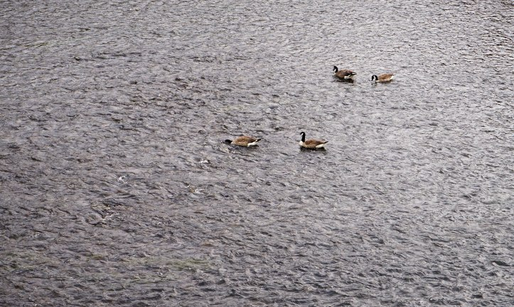 Stupid Canada geese - headed south and ended up lost in Belgium, probably stayed for the waffles