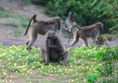 The baboons LOVE the Devil's Thorn flowers.