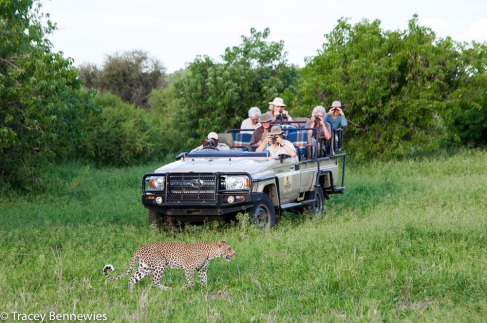 This is how close one jeep got to the leopards. There were only 2 jeeps here.