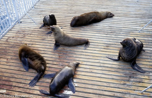 "These seals seem to really enjoy the attention they get on the ""seal platform"" of the Aquarium"