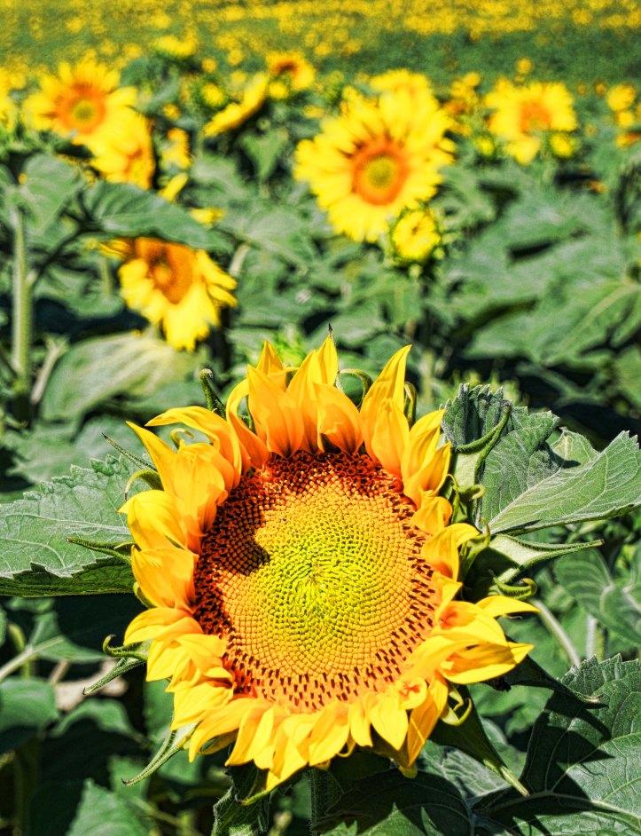 Sunflowers 2 - 01751